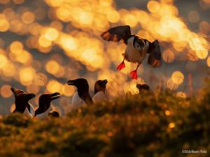 Alkefugler i kveldslys