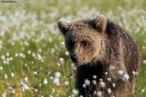 Bjørn i belter av myrull