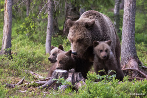 Bjørnemamma med sine tre