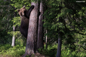 Bjørnen klatrer