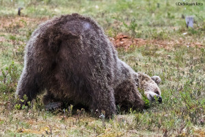 Bjørnen sover