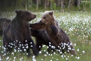 Bjørneslåssing