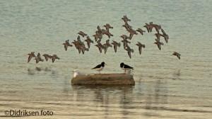 Fuglevår i Porsanger - Polarsnipeflokk