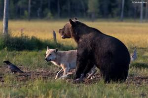 Kamp om maten - Bjørn, ulv og ravn