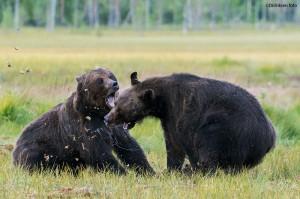 Kjempende bjørner