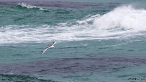 Krykkje (2K) ved storhavet