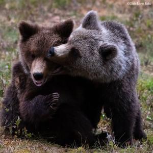 Lekende ungbjørner