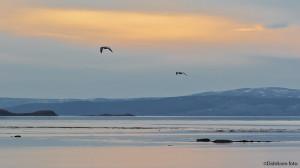 Måsemorgen ved Porsangerfjorden