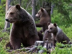 Nysgjerrige bjørneunger.