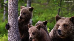 Nyskjerrig bjørnefamilie