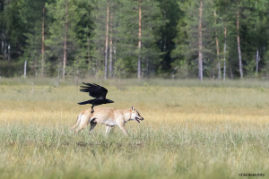 Ravn og ulv