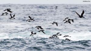 Sjøfugler i bølgebrus