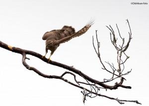 Spurvehauk