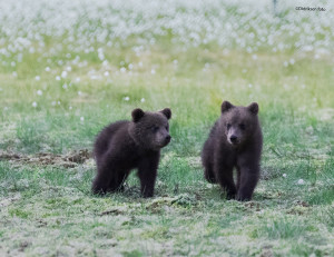 To Bjørnunger