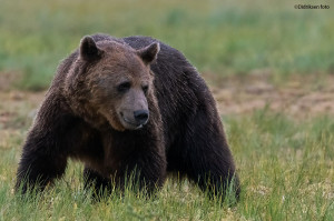 Velvoksen hannbjørn